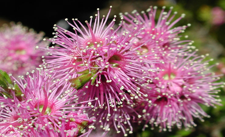 Kunzea Provides Relief From Muscle Pain