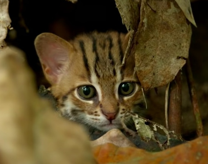 BBC Shares Video of the World's Smallest Cat, and Now We ...